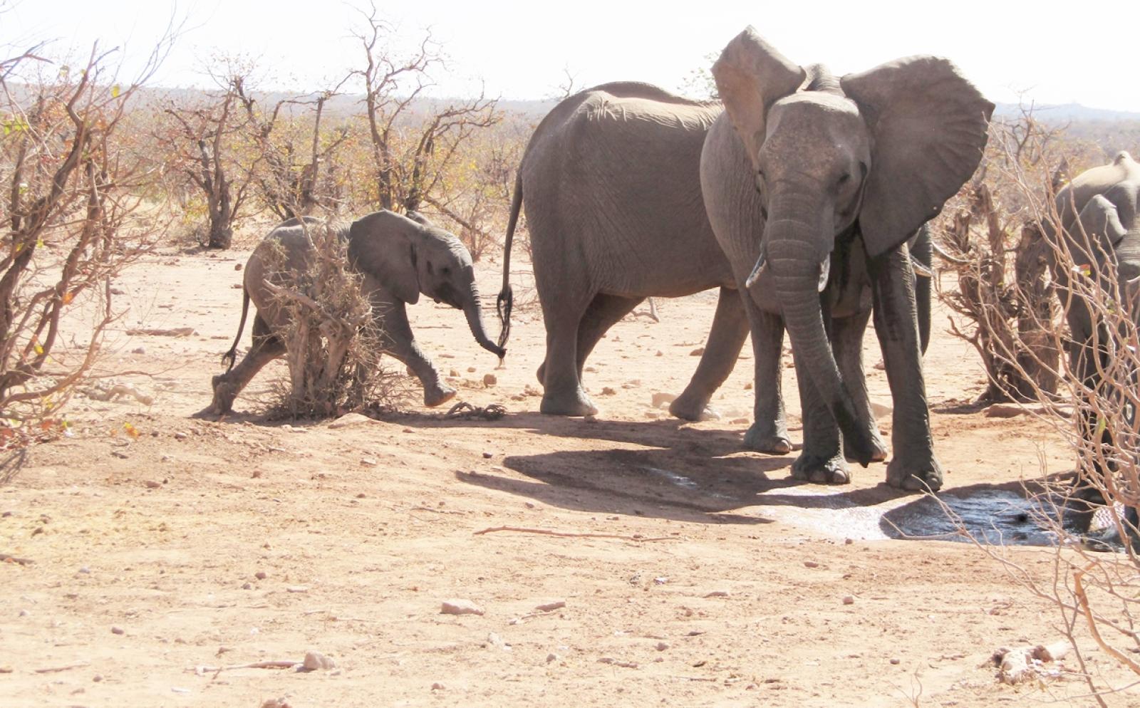 ボツワナに生息する野生のゾウ